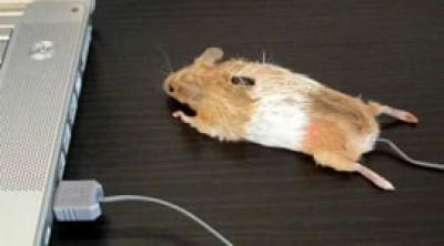 Компьютерная мышь как настоящая мышь своими руками